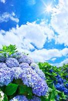アジサイと青空と雲