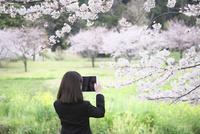 桜並木の下で写真を撮る女子中学生 10146003758| 写真素材・ストックフォト・画像・イラスト素材|アマナイメージズ