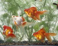 水槽で泳ぐ金魚の群れ
