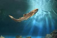 水槽を泳ぐトラフザメ