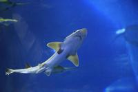 水槽を泳ぐサメ
