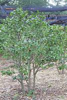 ユキツバキの木