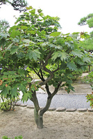 イタヤカエデの木