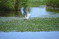 福島潟のサギ