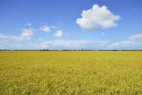 実りの田園風景