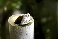 竹筒の中のカエル 10149002329| 写真素材・ストックフォト・画像・イラスト素材|アマナイメージズ