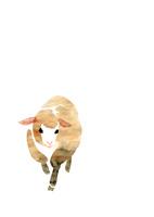 無地正面き歩く羊 10155000821| 写真素材・ストックフォト・画像・イラスト素材|アマナイメージズ