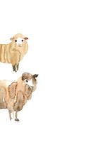 無地右から顔出す二匹の羊 10155000824| 写真素材・ストックフォト・画像・イラスト素材|アマナイメージズ