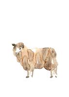 無地正面向羊 10155000847| 写真素材・ストックフォト・画像・イラスト素材|アマナイメージズ