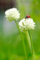 白つめ草とテントウ虫 10157000437| 写真素材・ストックフォト・画像・イラスト素材|アマナイメージズ