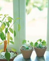 ヘチマの苗とバナナピーマン 10158000629| 写真素材・ストックフォト・画像・イラスト素材|アマナイメージズ