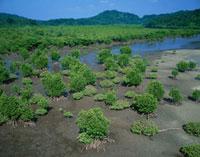 干潮時の浦内川のマングローブ