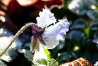 霜のついたビオラの花