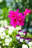 ピンクのイキシアの花とビオラ