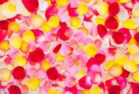 黄色とピンクと赤のバラの花びら