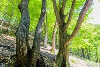 奥日光のミズナラの新緑の森