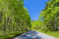 金精道路の新緑のダケカンバ林