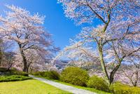 富士霊園のサクラ