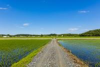 整然と並ぶ稲の苗