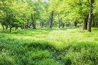 草原とハルニレとミズナラの森 10158006600| 写真素材・ストックフォト・画像・イラスト素材|アマナイメージズ