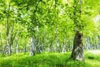 草原とハルニレとミズナラの森 10158006607| 写真素材・ストックフォト・画像・イラスト素材|アマナイメージズ