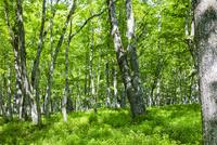 大木のミズナラの森 10158006611| 写真素材・ストックフォト・画像・イラスト素材|アマナイメージズ