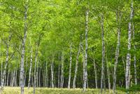 小田代原のシラカバ林 10158006622| 写真素材・ストックフォト・画像・イラスト素材|アマナイメージズ