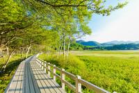 小田代原のシラカバ林を抜ける木道