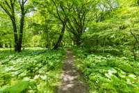 奥日光 マルバタケブキの群生する森の山道