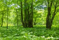 奥日光 マルバタケブキの群生する森 10158006633| 写真素材・ストックフォト・画像・イラスト素材|アマナイメージズ