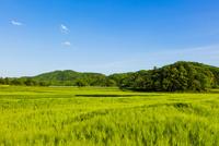 青い麦畑と里山と青空 10158006674| 写真素材・ストックフォト・画像・イラスト素材|アマナイメージズ