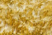 収穫時期の麦の穂