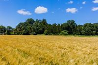 収穫期のオオムギの畑