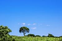牧草地の一本の木