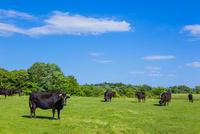 牛の放牧と青空 10158006713| 写真素材・ストックフォト・画像・イラスト素材|アマナイメージズ
