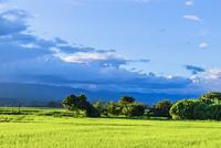 夏の夕方の稲田と雲