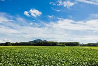 ダイズ畑と羽黒山 10158007437  写真素材・ストックフォト・画像・イラスト素材 アマナイメージズ