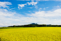 稲田と羽黒山 10158007441  写真素材・ストックフォト・画像・イラスト素材 アマナイメージズ