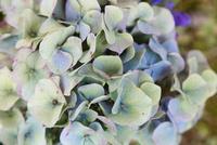 秋紫陽花のクローズアップ