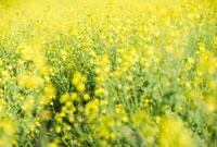 黄色の花が咲く花畑