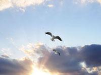 ユリカモメと夕日