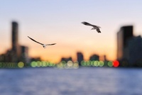 ユリカモメ飛ぶ勝鬨橋夕景