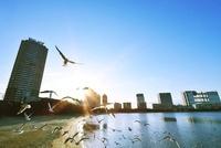 ユリカモメとお台場海浜公園の朝 10168000855| 写真素材・ストックフォト・画像・イラスト素材|アマナイメージズ