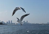 横浜港のカモメ