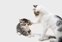 猫パンチ 10168003366| 写真素材・ストックフォト・画像・イラスト素材|アマナイメージズ
