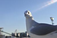 横浜港のカモメ 10168003412| 写真素材・ストックフォト・画像・イラスト素材|アマナイメージズ