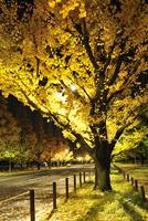 黄金色に輝く神宮外苑イチョウ並木