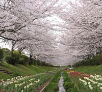 満開の桜とチューリップの花