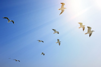 青空とユリカモメの群れ 10168003928| 写真素材・ストックフォト・画像・イラスト素材|アマナイメージズ