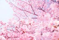 桜 10169000510| 写真素材・ストックフォト・画像・イラスト素材|アマナイメージズ